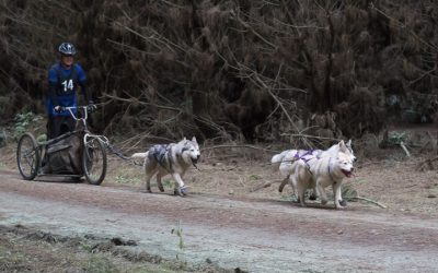 Siberian Huskies and Sled Dog Racing In NZ