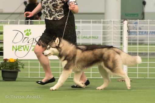 Siberian Husky pup Shady in the show ring