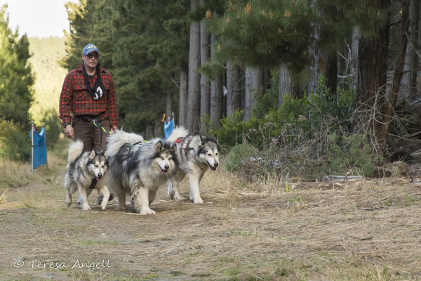 Sled Dog Derby exercising dogs