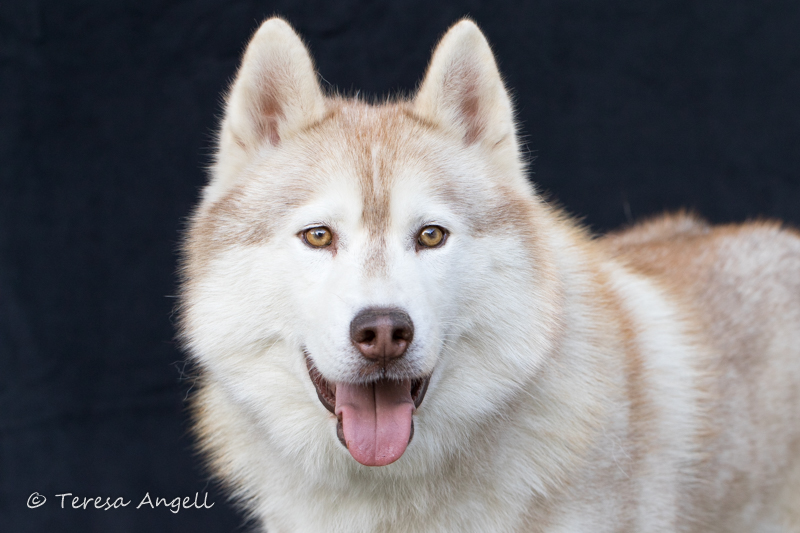 Siberian Husky and All Breed Dog Portraits